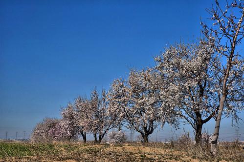 Almendros en flor AFD-P52-S12