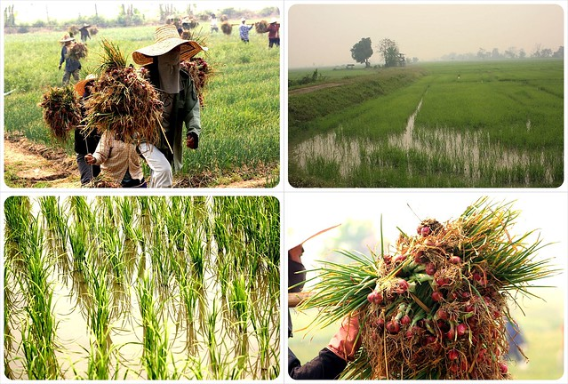 onion harvest & rice fields in northern thailand