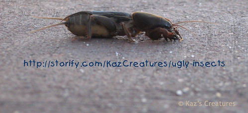 Mole-cricket-side-view by Kaz Creatures