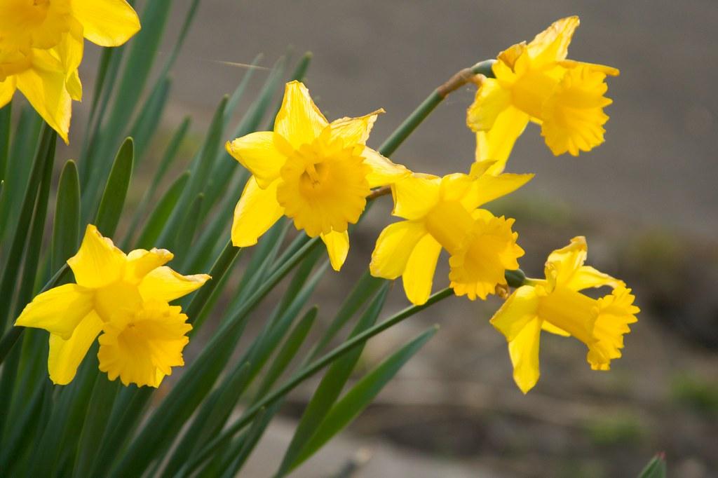 daffodil  1441