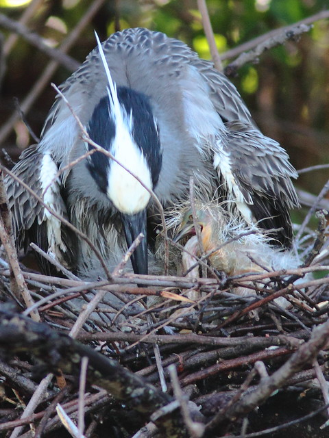 Yellow-crowned Night-Heron chick choking Nest 9HT