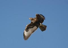 vulture(0.0), harrier(1.0), animal(1.0), hawk(1.0), bird of prey(1.0), falcon(1.0), eagle(1.0), wing(1.0), fauna(1.0), buzzard(1.0), bald eagle(1.0), accipitriformes(1.0), beak(1.0), bird(1.0), flight(1.0),