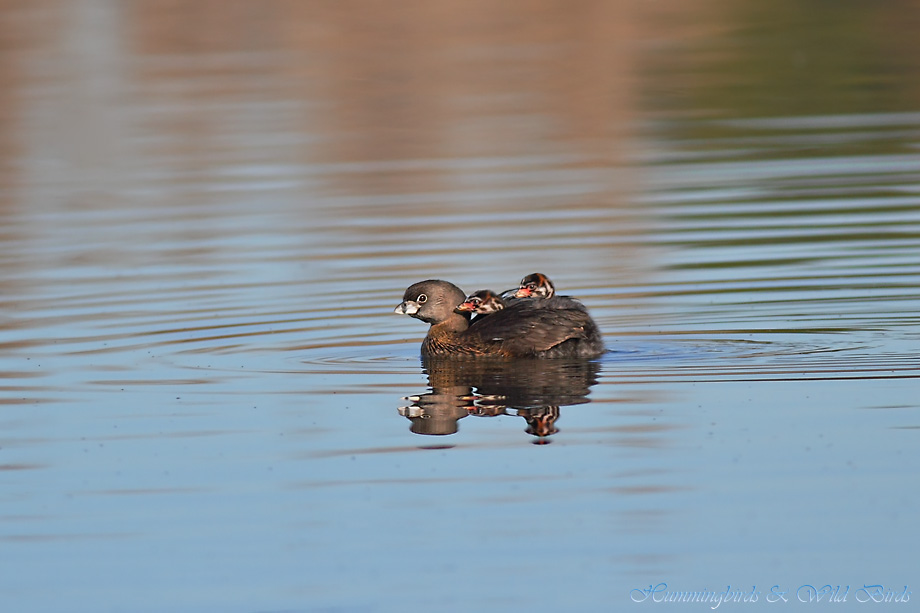 Pied-billed Grebe 122511-4