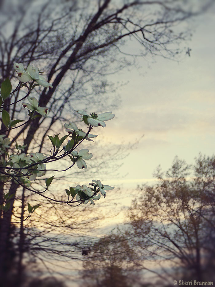 Dogwood at dusk