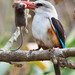 Grey-headed Kingfisher (Halcyon leucocephala, Grijskopijsvogel) by CaboNed