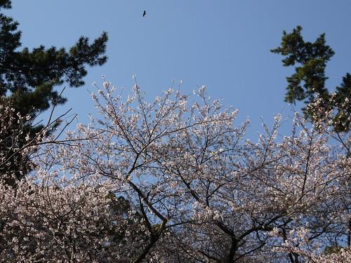 トンビと桜