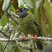 Barred Fruiteater - Photo (c) edwardhurme, all rights reserved