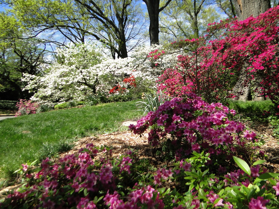 6-77-21apr12_3654_Botanical_garden_azalia