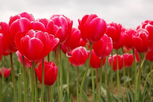 Tulip Fields 8