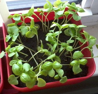 05-02-2012 Basil after thinning