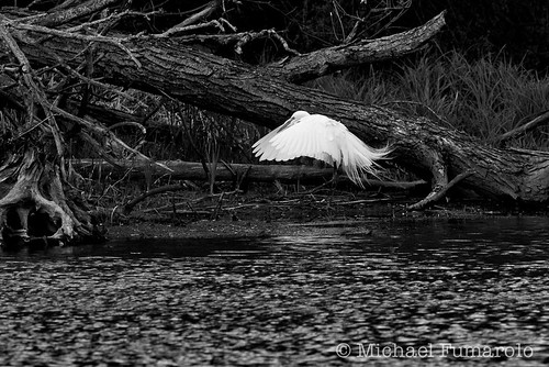 Great Egret On The River Bank - 02