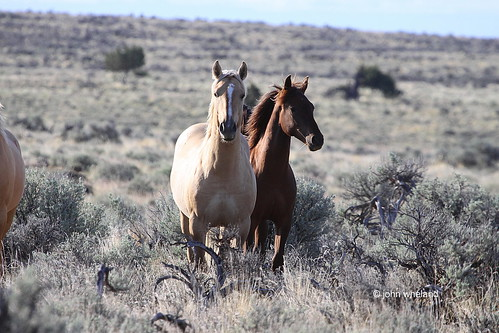 Mustangs. Palomino Buttes HMA, Oregon