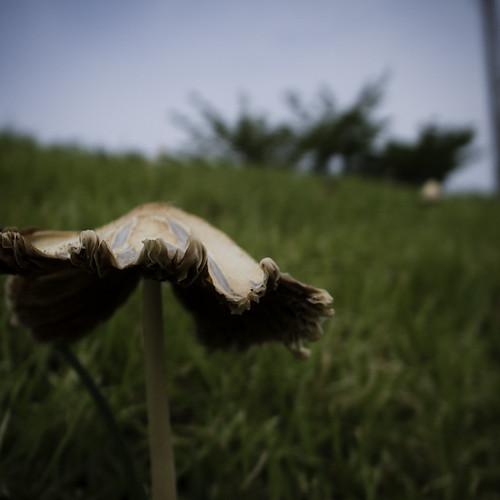 Typhoon Mushroom Thrive