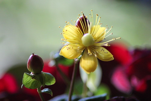 Mystery Flower Solved ... hypericum by Sparky2*