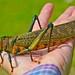 Tropidacris cristata by entomopixel