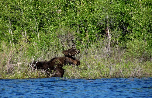 Ed Coyle's photo of a moose in Grand Teton National Park.