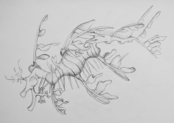 Leafy Seadragon (June 2012)