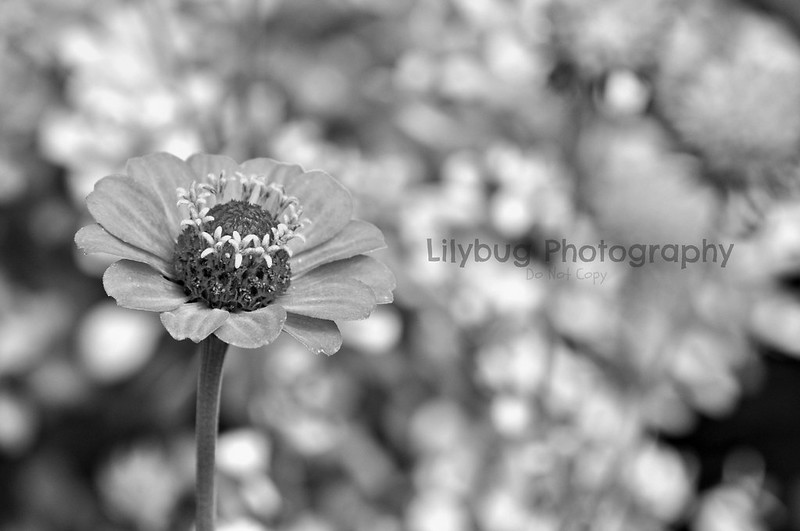 Strawberry Flower (B&W)