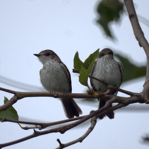 Vermilion Flycatcher( Juveniles)