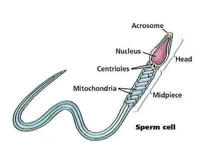 04b_sperm_cell