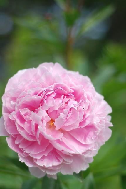 pojeng Sarah Bernhardt/peony