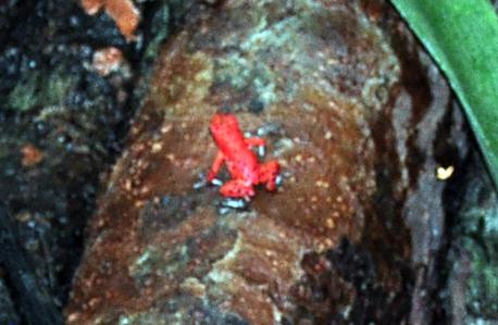 Una de las dos ranas rojas que pude ver aunque se escuchan cientos de ellas bocas del toro - 7598295102 ffea2ccf37 o - Bocas del Toro, escondido destino vírgen en Panamá