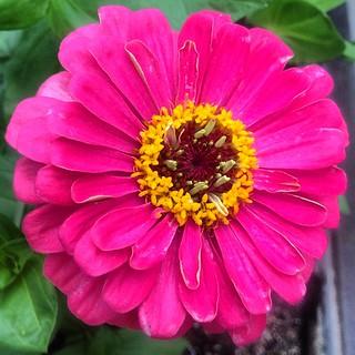 flower color:pink