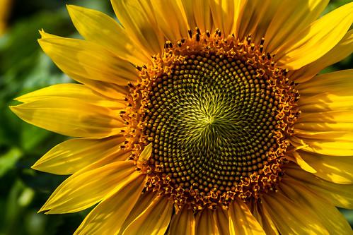 Sonnenblume by kenfagerdotcom