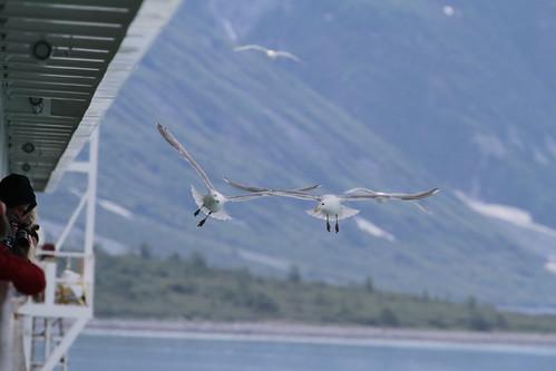 Glacier Bay - Birds Scoping Decks for Vittles
