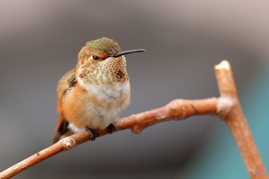immature male Allen's Hummingbird 040812-2