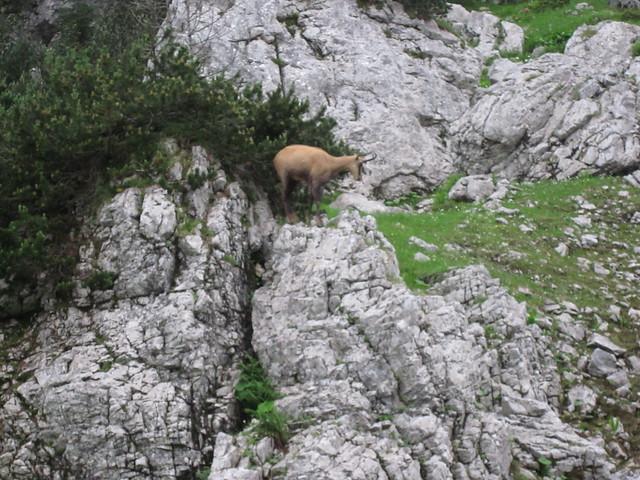 Header of Alpine Chamois