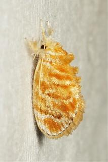 Cup Moth (Narosa fulgens, Limacodidae)