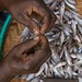 Preparing small fish, Lake Victoria, Kenya. Photo by Patrick Dugan, 2007.