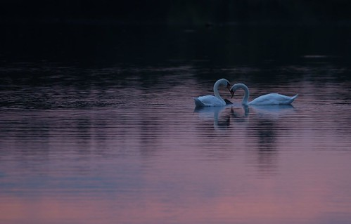 Blue Swans -- Pink Lake by Get The Flick