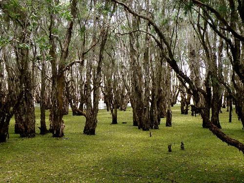 paperbark trees by feyfae