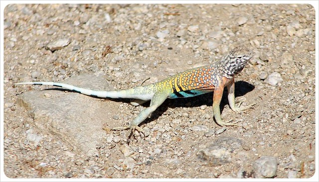colorful lizard in arizona