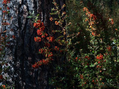 california unitedstates hemet idyllwild pyracantha lakefulmor sdosremedios size4x5 ©stevendosremedios