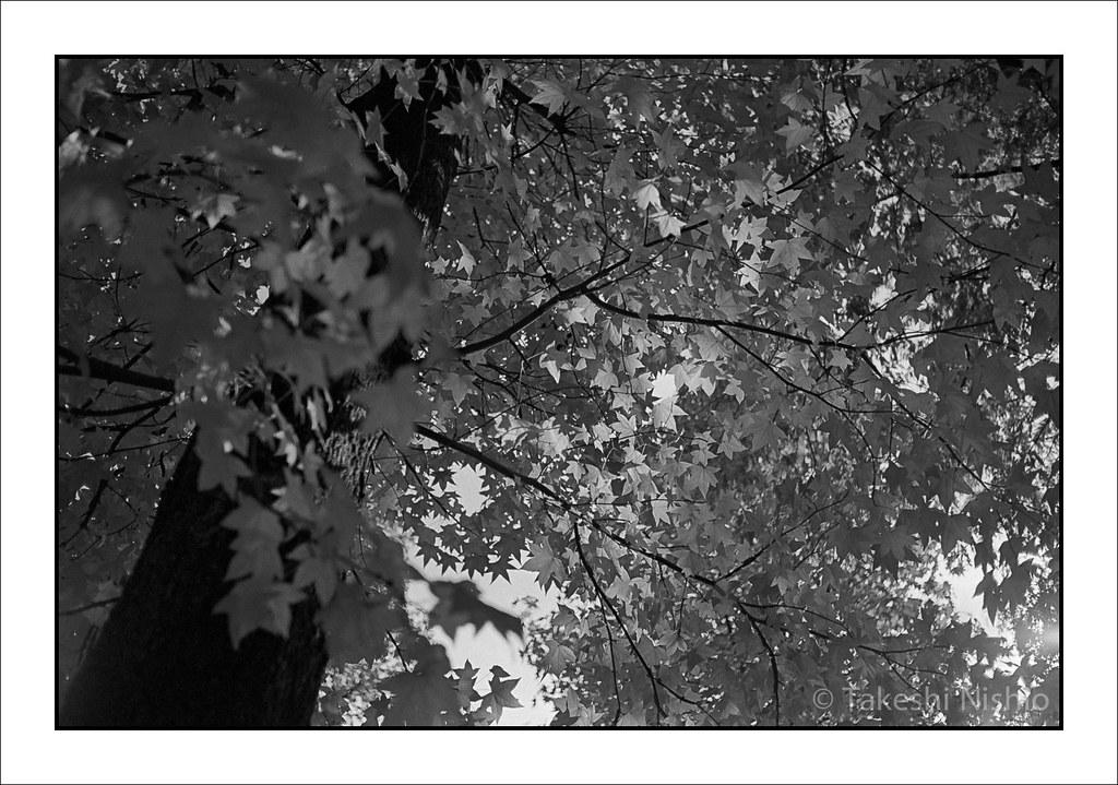 アメリカ楓 / Maple tree