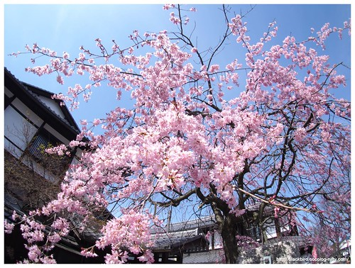 Weeping cherry tree #02