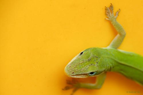 Green lizard, yellow pot