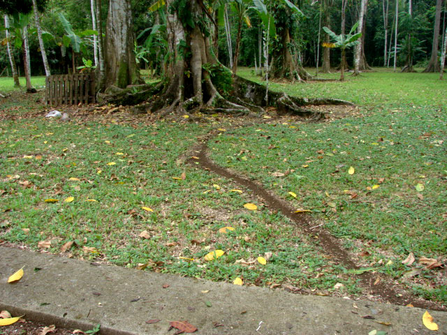 view-of-the-yard-w-leaf-cutter-ant-trail