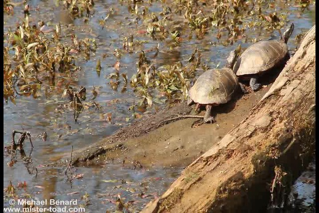 Mother's Day Turtles