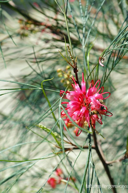 Цветок гревиллеи
