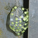 Small photo of Agalychnis callidryas eggs