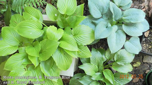 Hosta plantaginea family portrait