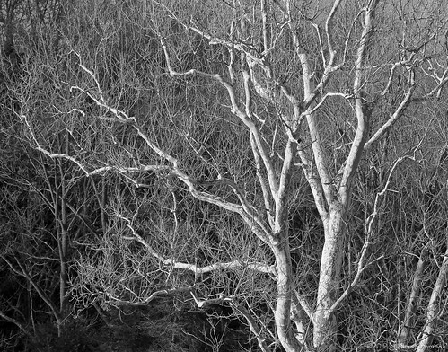 bw hope farm sycamore veryoldtree naturescomplexity