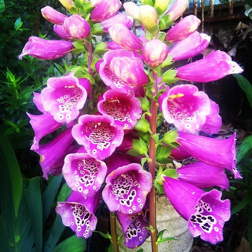 Glorious foxgloves!