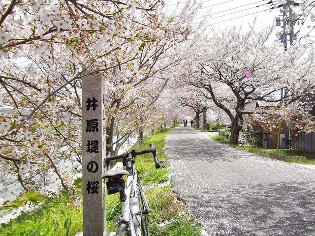 井原堤の桜 #6