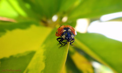animal, ladybird, invertebrate, insect, macro photography, fauna, close-up, leaf beetle, beetle,