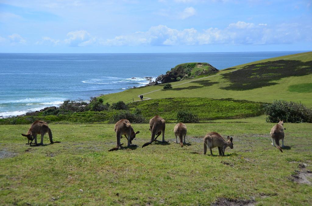 6959653008 732717d900 b Kangaroos on the Beach in Australia